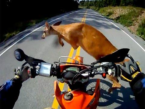 Motorcycle & Deer